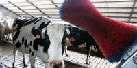 brosse pour vaches